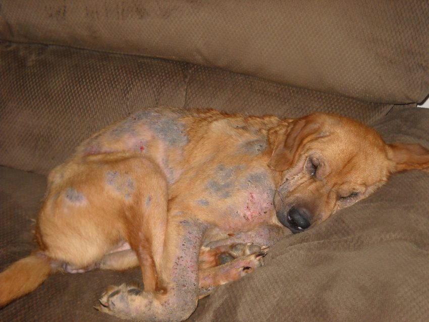 Dog with Demodectic mange. mites, scabies