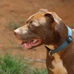 Pit bull dog grooming